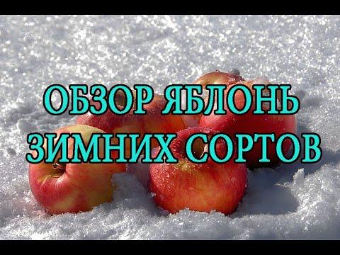 Обзор яблонь зимних сортов. Остатки на осень)