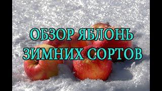 видео Сорт яблони Веньяминовское