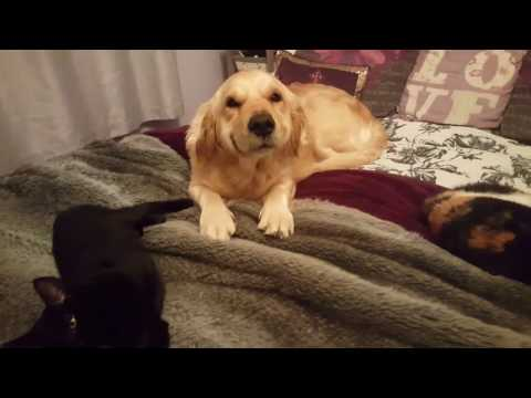 Guilty Golden Retriever dog tries to smile herself out of trouble. Cute doggo