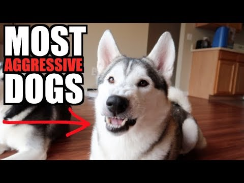 Are Siberian Huskies Becoming The Most Aggressive Dog Breed?