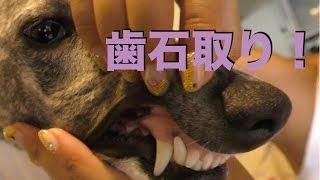 犬 歯石取り ウィペット ロイ 歯が綺麗になる.