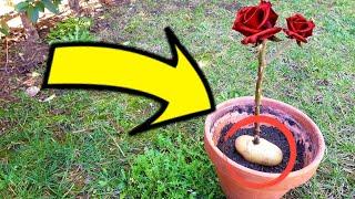 Olvida Las Hormonas Se Puede Enraizar Una Rosa Ya Cortada Con Papa Plantar Rosas En Patata Youtube