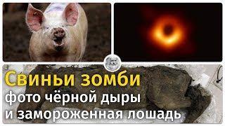 Свиньи зомби, фото чёрной дыры и замороженная лошадь