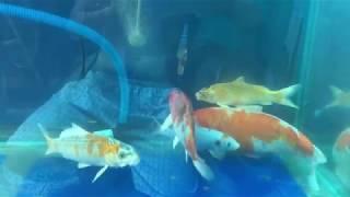 Kỹ thuật nuôi cá koi trong bể kính - đơn giản hiệu quả