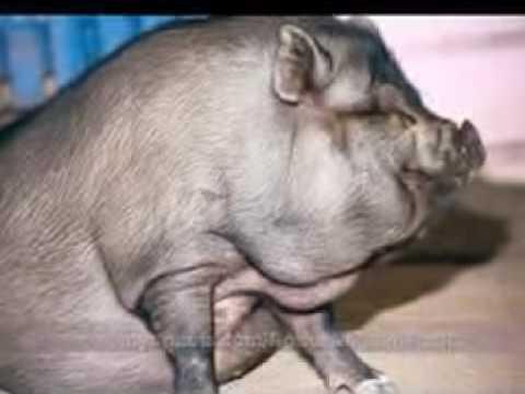 Swine Flu Song Funny Swine Flu Song Music Video Hilarious Youtube