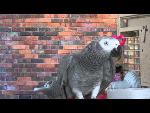 Bibi African Grey Parrot – Intelligence & Personality