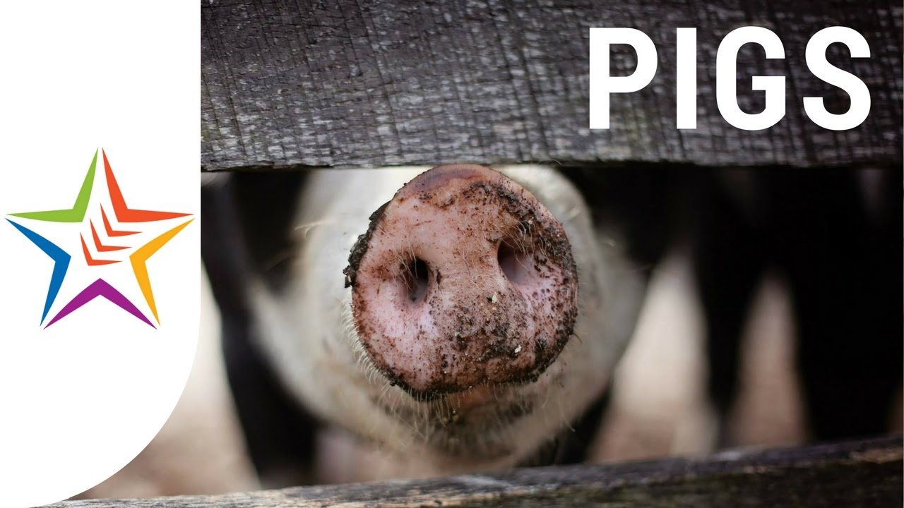 Pig Sounds - YouTube
