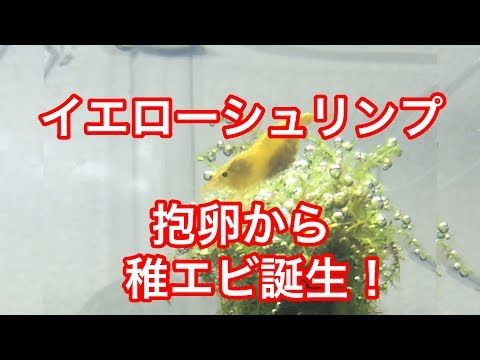 チェリーシュリンプ抱卵から稚エビ誕生!ミックスしてルリーシュリンプ?切り株レイアウト水槽
