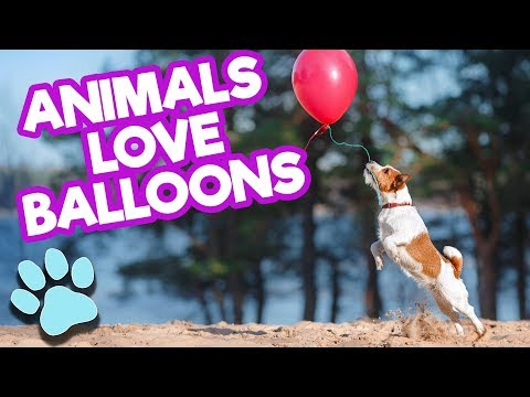 Animals LOVE Balloons | Funny Pets Compilation | #thatpetlife