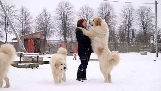 Пиренейская горная собака! Кто она?!