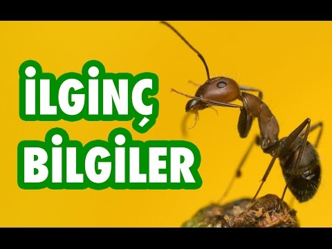 Karıncaların Olağanüstü Dünyası (İlginç Bilgiler)