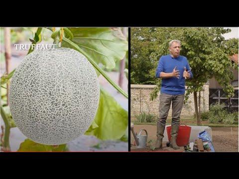 Comment planter la betterave jardinerie truffaut tv - Comment planter les courgettes ...