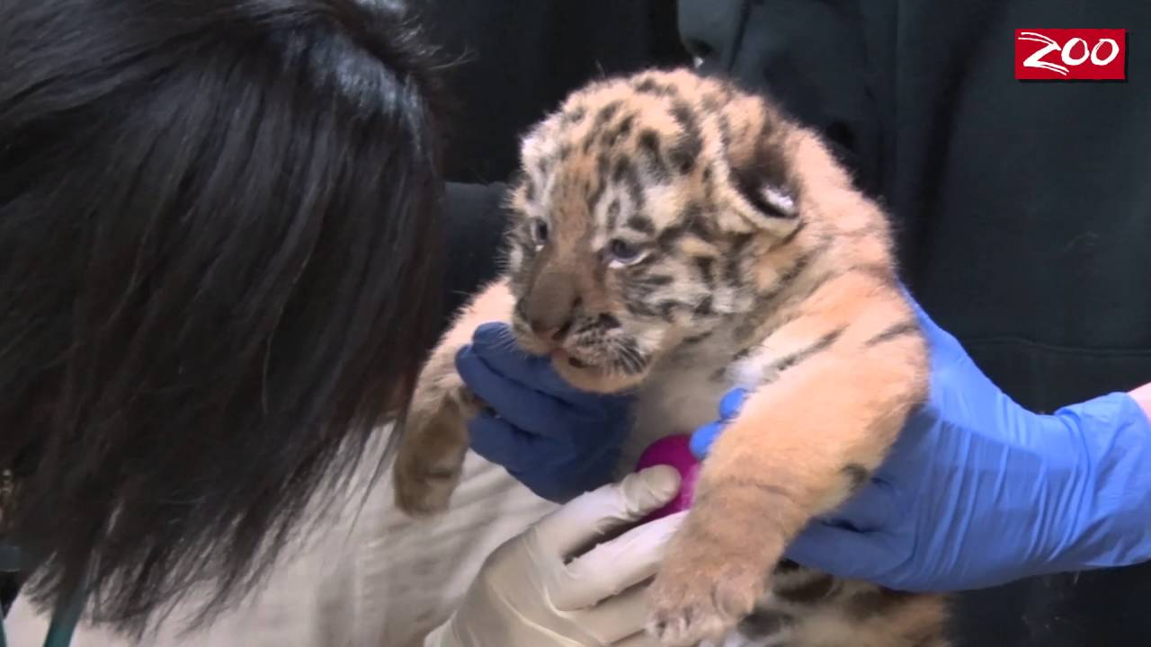 Tiger Cubs' First Well-Check