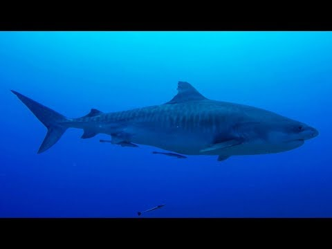 """GoPro: Shark Diving in Tahiti with Mark Healey - Ep. 4 - """"Connect not Conquer"""""""