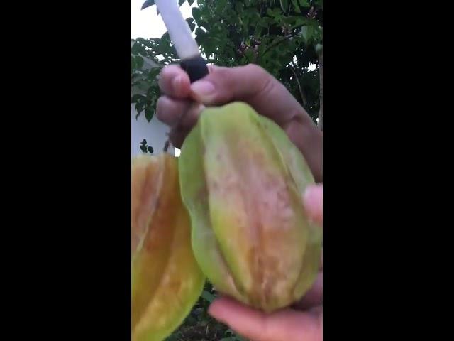 Hai Khe o Cay Khe Lun (Carambola Fruits)/Hai Trai Cay o My