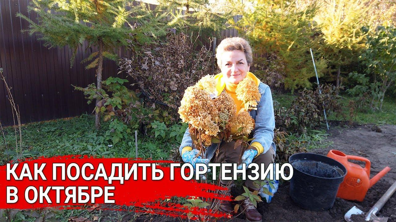 Как посадить гортензии в октябре
