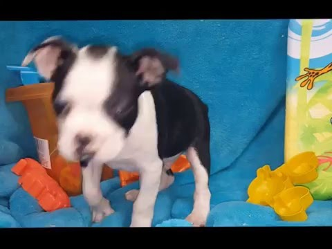 MALE BOSTON TERRIER PUPPY