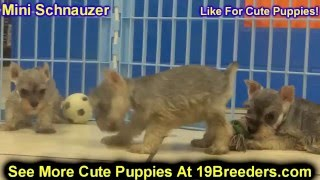Mini Schnauzer, Puppies For Sale, In, San Antonio, Texas, Tx, Pasadena, Brownsville, Grand Prairie,