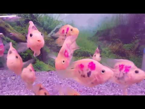 Freshwater Tattooed Parrot Fish    Amphilophus Citrinellus X Paraneetroplus Synspilus