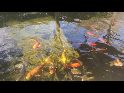 Lakeridge winery clermont florida august 20th 2017 doovi for Koi pond builders near me
