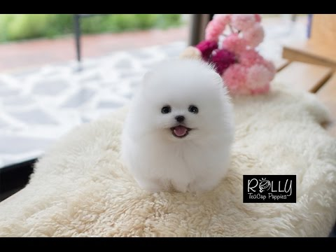 AMAZING DOLL FACE POMERANIAN!! Tiffany - Rolly Teacup Puppies