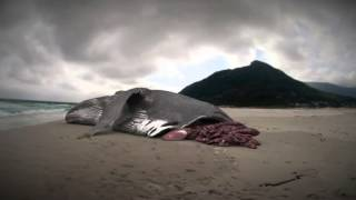 Megalodon: The Monster Shark Lives: Whale Attacked by Megalodon?