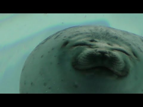 A seal is smiling ワモンアザラシが笑ってる