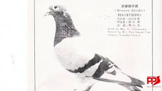 日本古老鴿系,細川勢山系  影片欣賞