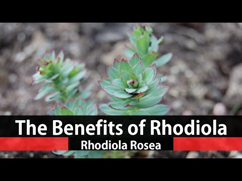 the-health-benefits-of-rhodiola-rosea