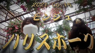 富士花鳥園 バードショー 2021.06.15 ハリスホークのモンジュちゃん