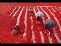 বগুড়ার বিখ্যাত লাল মরিচ । Red Chillis in Bogra । Red Chilli । Red Chillis Pickers