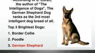 German Shepherd Facts - Gsd Facts