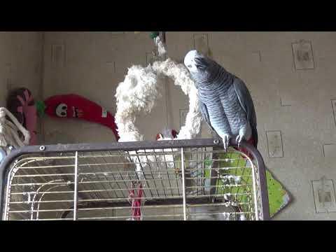 Жако говорящий попугай/С такими попугаями не скучно!?