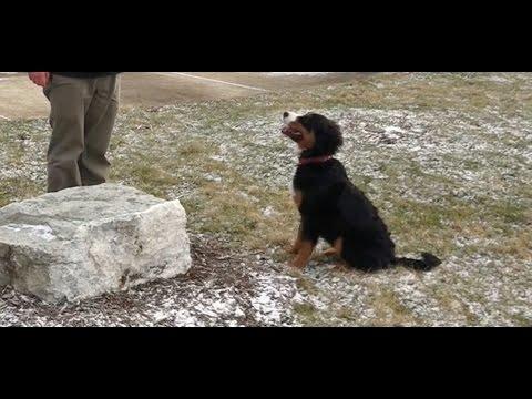 Best Dog Training in Columbus, Ohio! 5 Month Old Bernese Mountain Dog, Bertie!