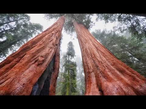 How Big were Trees before Noah's flood  - There are no forests on Earth