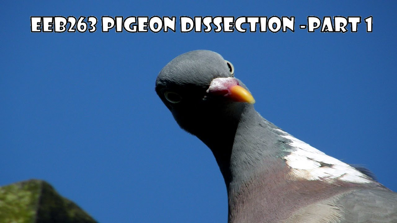 Pigeon Dissection - Part 1 - 2015 - EEB263 - YouTube