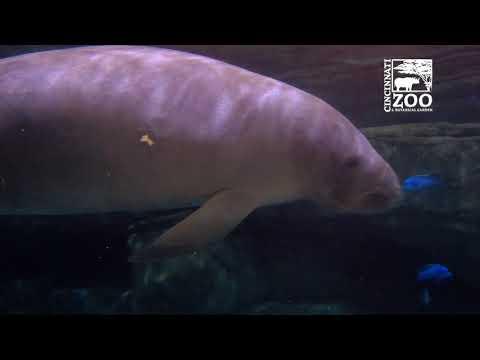 Manatees BamBam and Betsy are Heading Back to Florida - Cincinnati Zoo