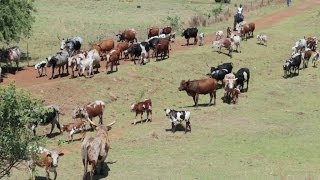 Nguni Cattle Drive - South African Cattle Ranch - Canon EOS 70D