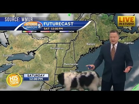 Dog Strolls Through Live Weather Forecast in New Hampshire