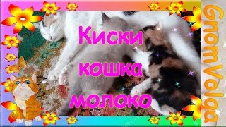 Киски кошка молоко