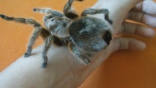 Handling big calm Chilean rose tarantula (Grammostola rosea) [Inferion7]