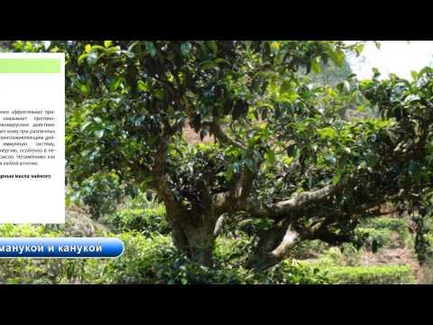 Эфирное масло чайного дерева - применение и уникальные
