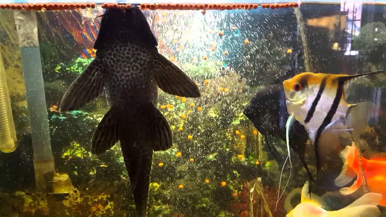 mi pez limpia pecera y sus compa eros youtube