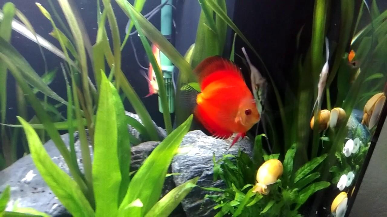 Freshwater aquarium fish documentary - Aquarium With Discuss Fish