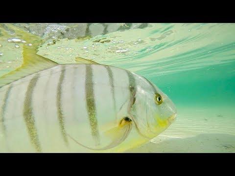 Fly Fishing UAE, Dubai - Fly Fishing Golden Trevally