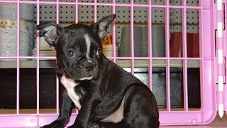 Boston Terrier, Puppies, For, Sale, In, Denver, Colorado, Co, Fort Carson, Black Forest, Welby, Gree