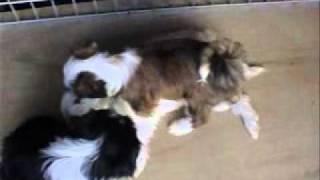 珍犬チベタン、テリアの仔犬75日目の3匹.