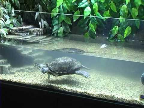 Все О Домашних Животных: Болотная Черепаха