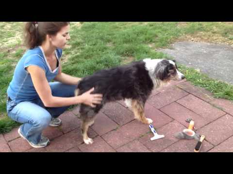 Grooming an Australian shepherd:  Buy an undercoat rake!