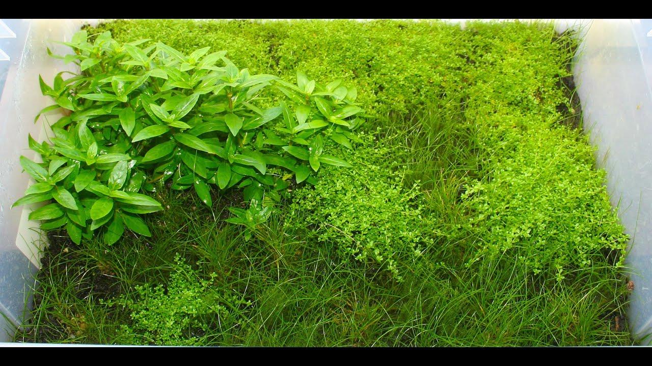 Fast Growing Carpet Plants For Aquarium - Carpet Vidalondon